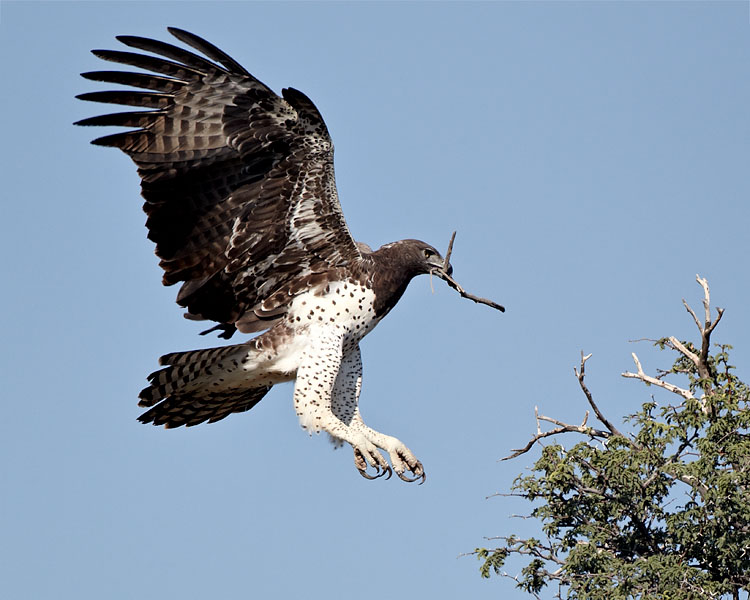 martial eagle | Aves | Pinterest